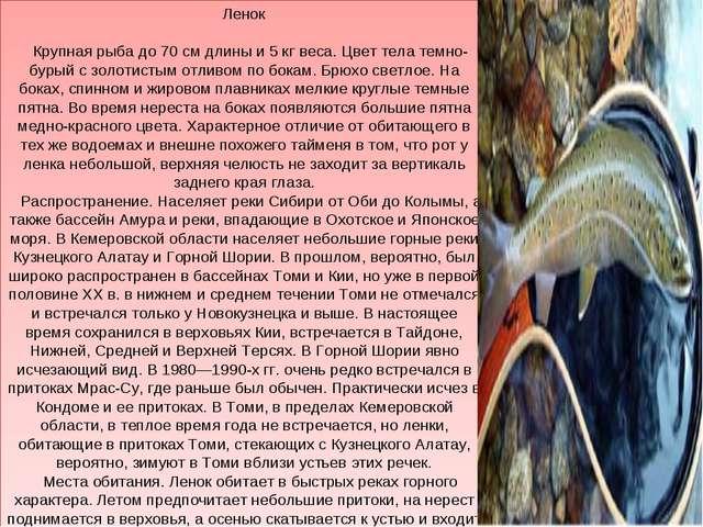 Ленок Крупная рыба до 70 см длины и 5 кг веса. Цвет тела темно-бурый с золоти...