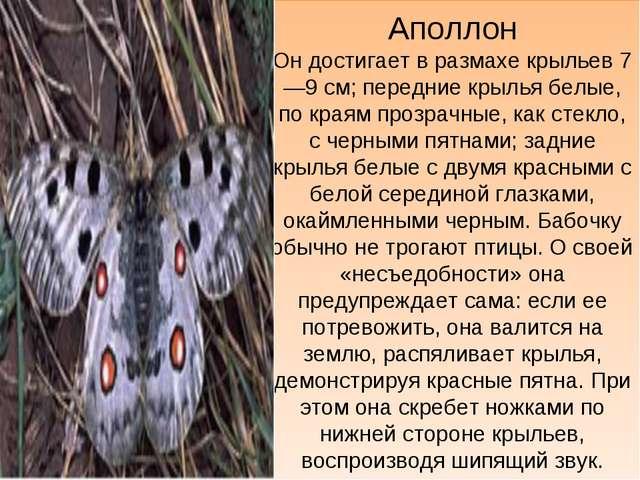 Аполлон Он достигает в размахе крыльев 7—9 см; передние крылья белые, по края...