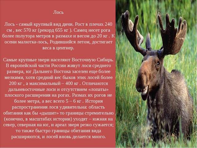 Лось Лось - самый крупный вид дичи. Рост в плечах 240 см , вес 570 кг (рекорд...