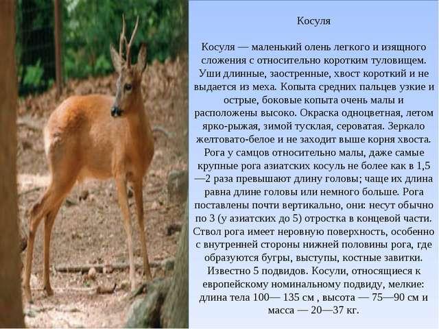 Косуля Косуля — маленький олень легкого и изящного сложения с относительно ко...