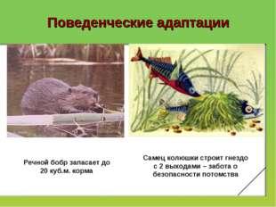 Поведенческие адаптации Речной бобр запасает до 20 куб.м. корма Самец колюшки