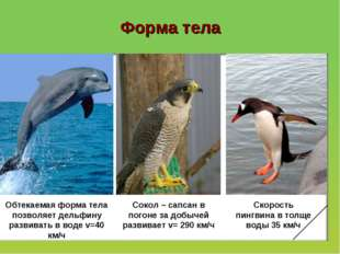 Форма тела Обтекаемая форма тела позволяет дельфину развивать в воде v=40 км/