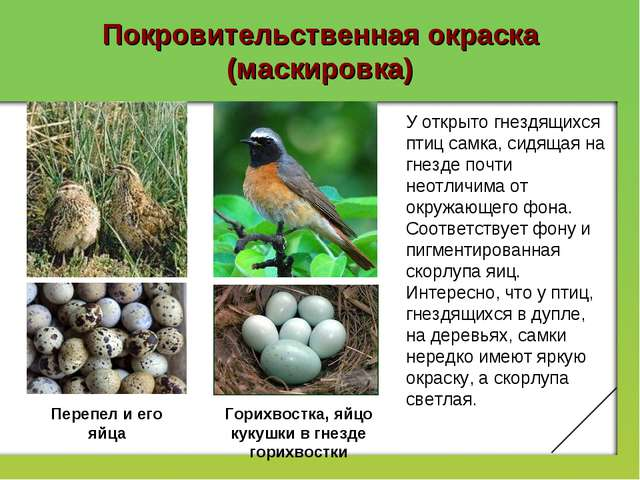 Покровительственная окраска (маскировка) У открыто гнездящихся птиц самка, си...