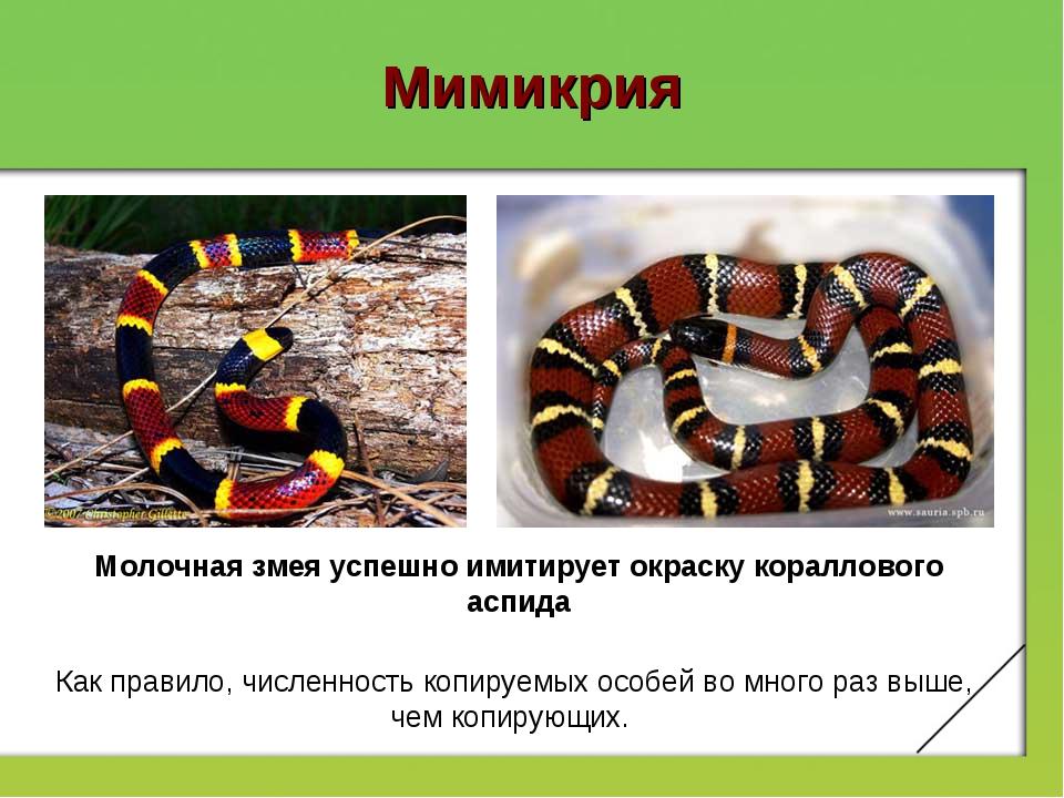 Мимикрия Молочная змея успешно имитирует окраску кораллового аспида Как прави...