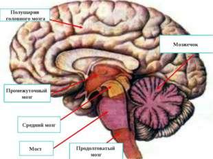 Полушария головного мозга Промежуточный мозг Средний мозг Мост Продолговатый