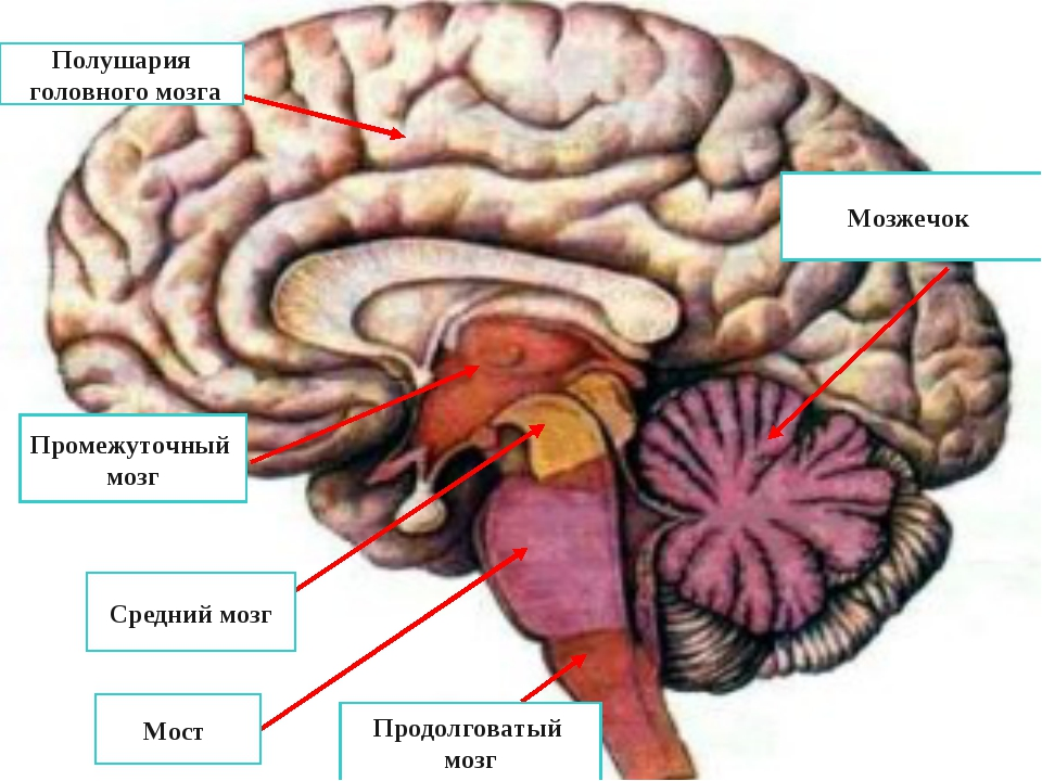 Полушария головного мозга Промежуточный мозг Средний мозг Мост Продолговатый...