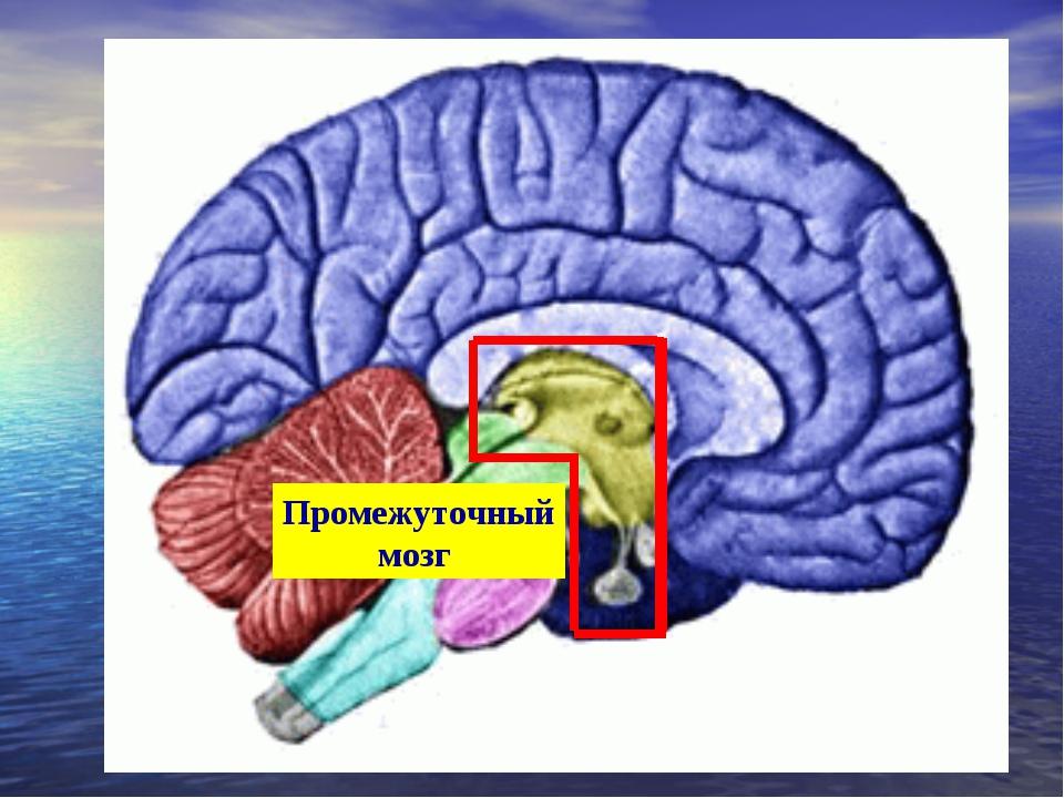 Промежуточный мозг