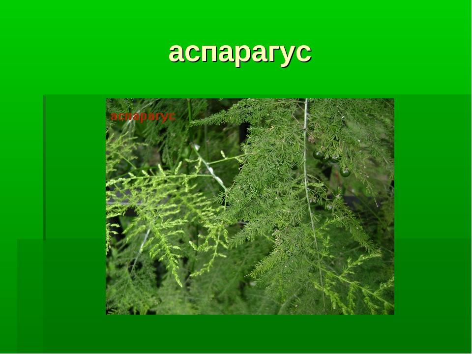 аспарагус