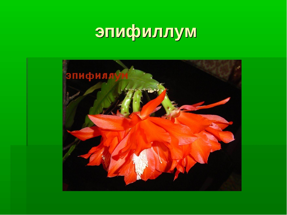 эпифиллум