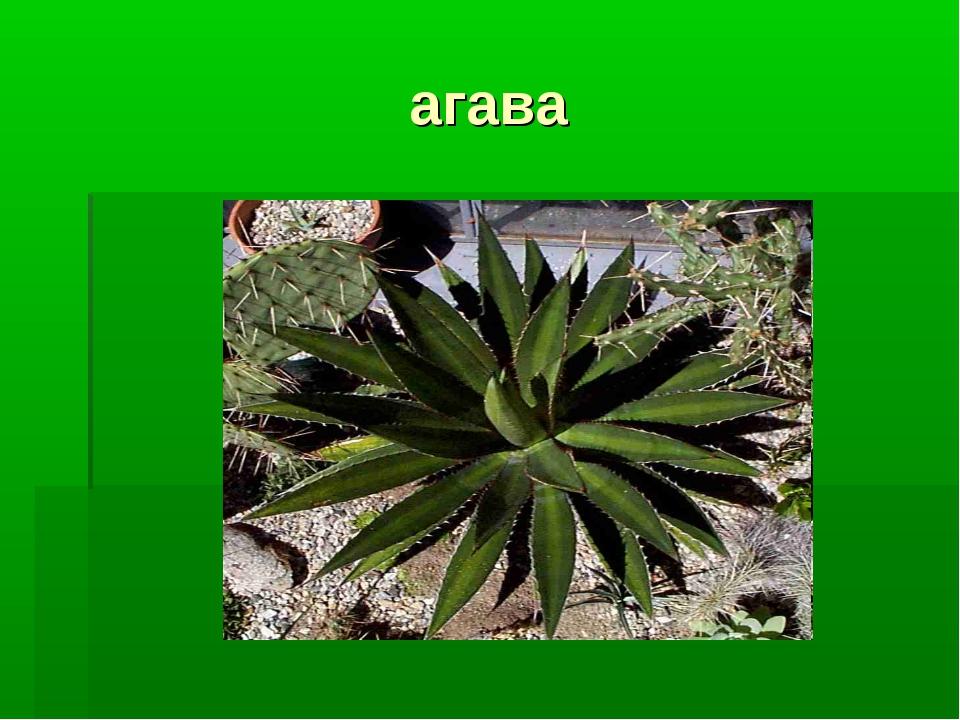 агава