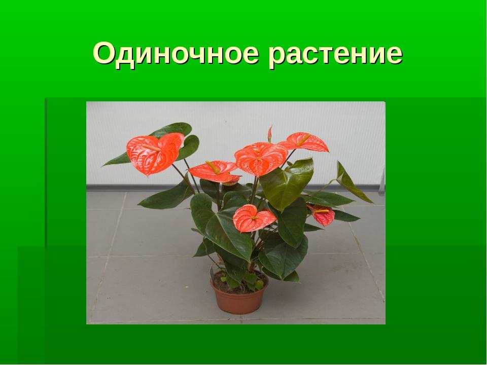 Одиночное растение