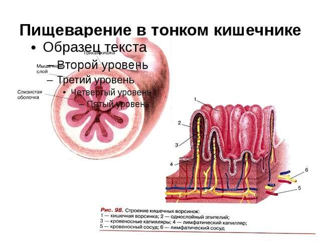 Пищеварение в тонком кишечнике