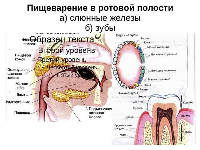 Пищеварение в ротовой полости а) слюнные железы б) зубы