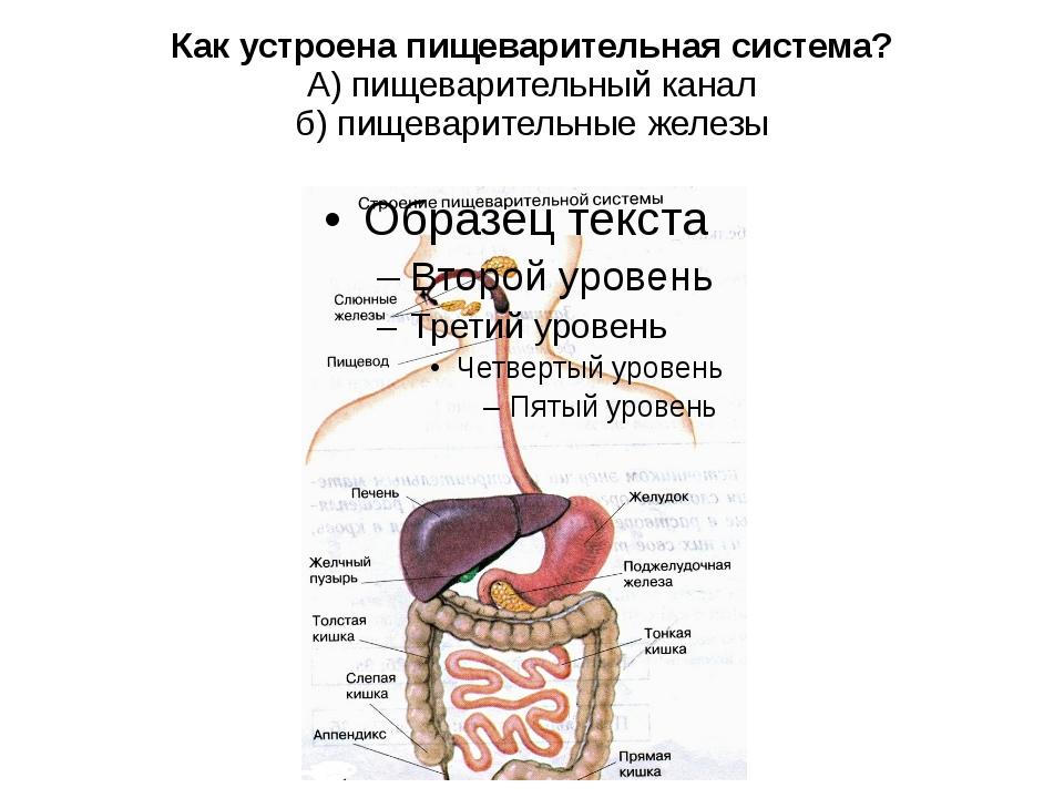 Как устроена пищеварительная система? А) пищеварительный канал б) пищеварител...
