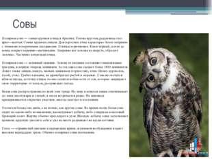 Совы Полярная сова — самая крупная птица в Арктике. Голова круглая, радужница