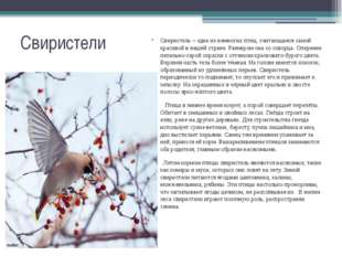 Свиристели Свиристель – одна из немногих птиц, считающаяся самой красивой в н