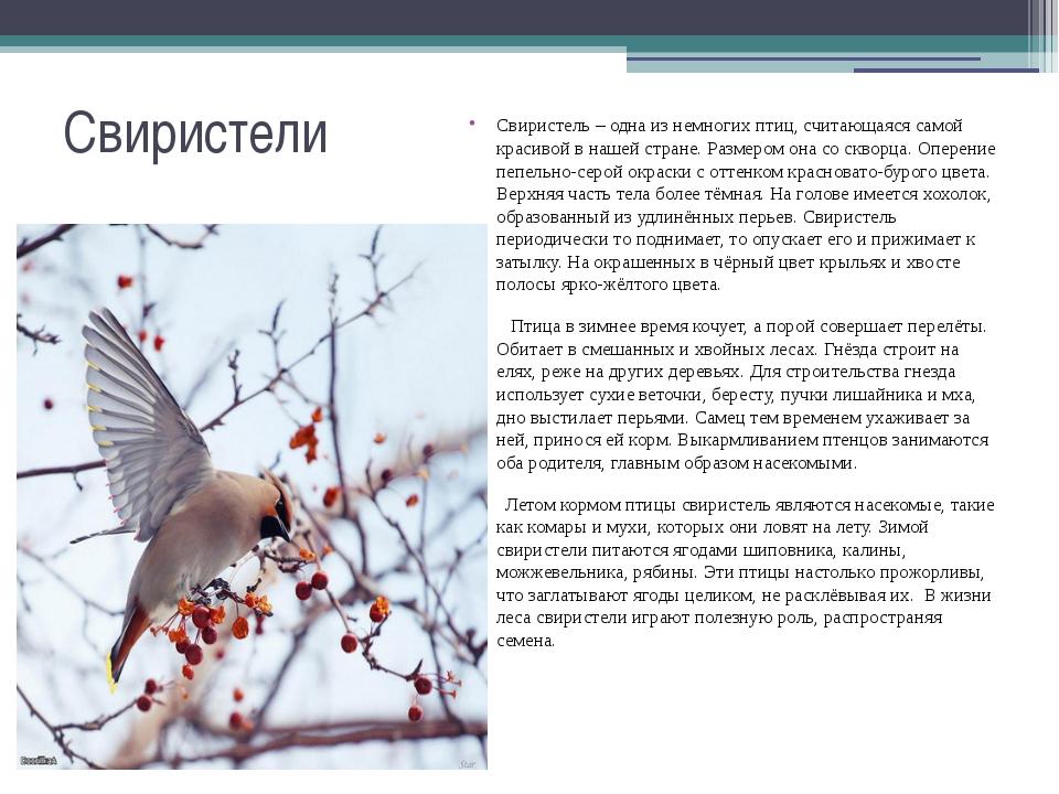 Свиристели Свиристель – одна из немногих птиц, считающаяся самой красивой в н...