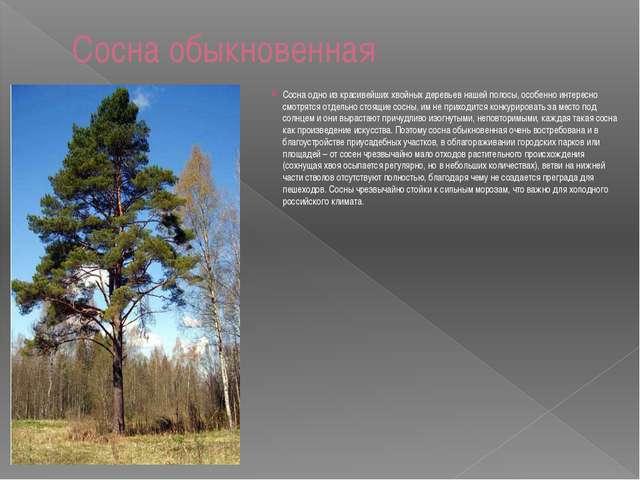 Сосна обыкновенная Сосна одно из красивейших хвойных деревьев нашей полосы, о...