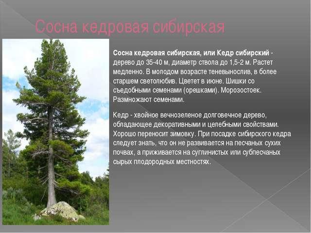 Сосна кедровая сибирская Сосна кедровая сибирская, или Кедр сибирский - дерев...