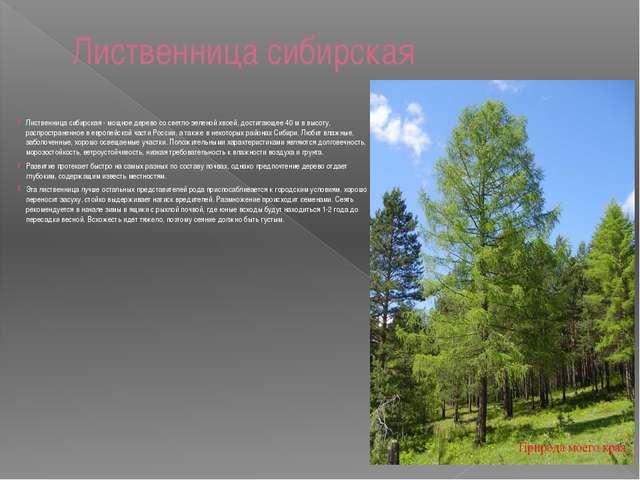 Лиственница сибирская  Лиственница сибирская - мощное дерево со светло-зелен...