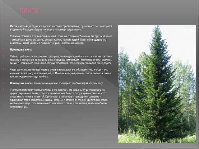 пихта Пихта – настоящее парадное дерево, королева среди хвойных. Лучше всего...