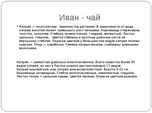 Иван - чай Кипрей — многолетнее травянистое растение. В зависимости от вида ,