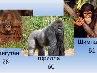 горилла орангутан 26 Шимпанзе 61 60