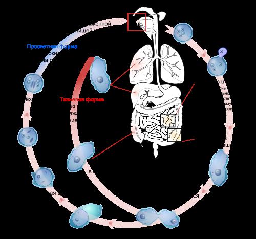 Entamoeba histolytica life cycle-ru.svg