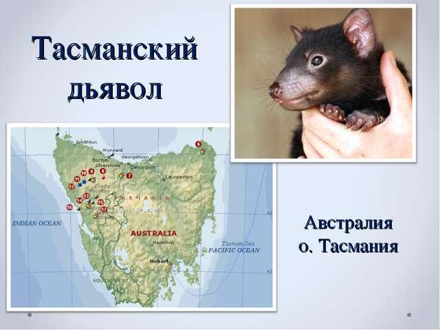 Тасманский дьявол Австралия о. Тасмания