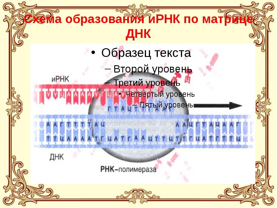 Схема образования иРНК по матрице ДНК