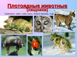 Плотоядные животные (хищники) Хамелеон, орёл, сова, рысь, божья коровка, и др.
