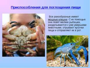 Все ракообразные имеют мощные клешни. С их помощью они ловят мелких рыбешек,
