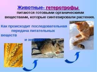 Животные- гетеротрофы питаются готовыми органическими веществами, которые си