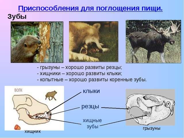 Приспособления для поглощения пищи. Зубы хищник грызуны резцы клыки хищные зу...