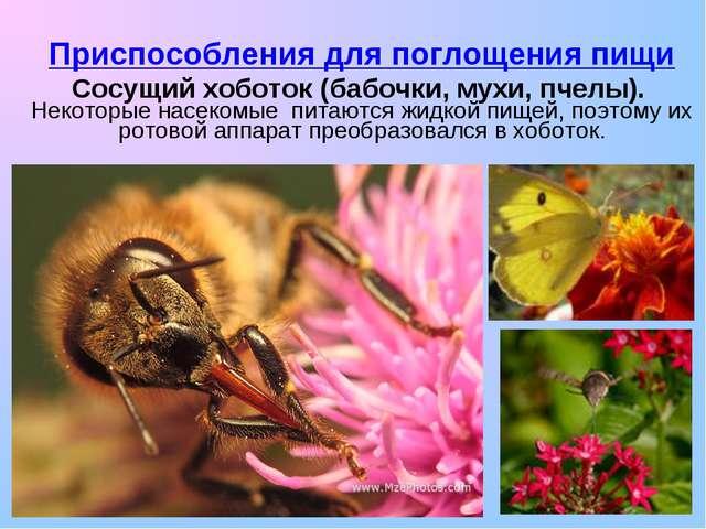 Приспособления для поглощения пищи Сосущий хоботок (бабочки, мухи, пчелы). Не...