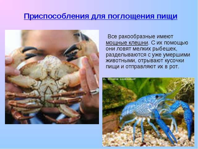 Все ракообразные имеют мощные клешни. С их помощью они ловят мелких рыбешек,...