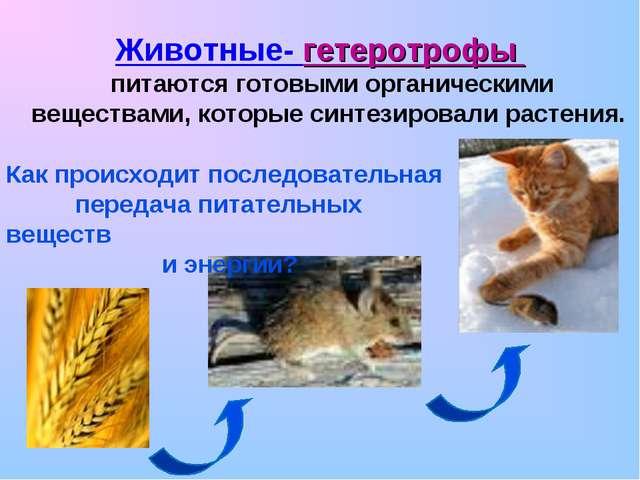 Животные- гетеротрофы питаются готовыми органическими веществами, которые си...