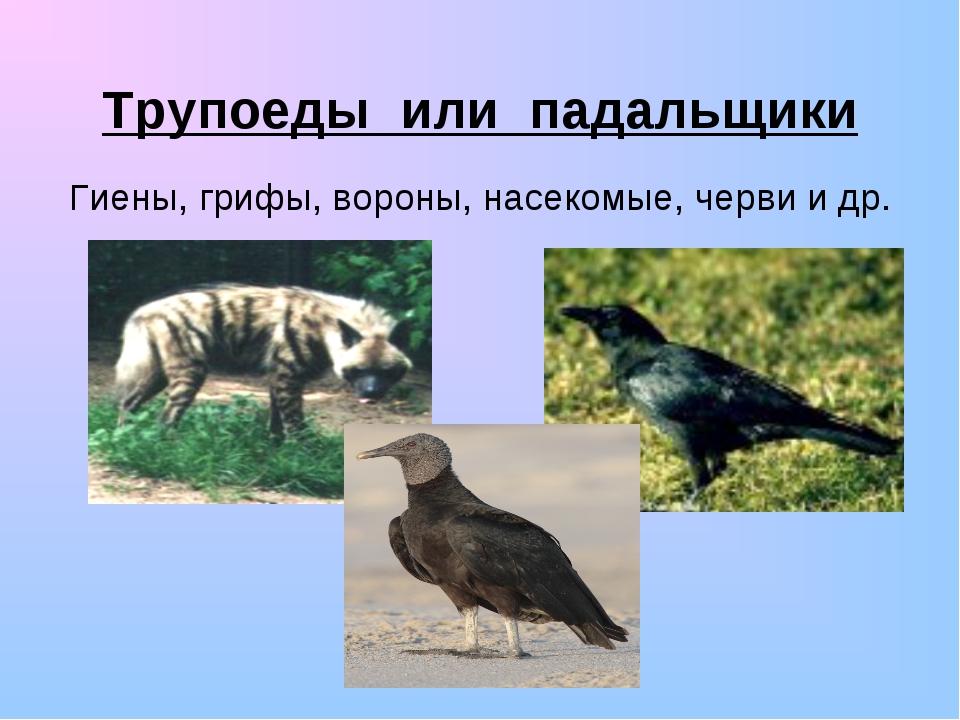 Трупоеды или падальщики Гиены, грифы, вороны, насекомые, черви и др.
