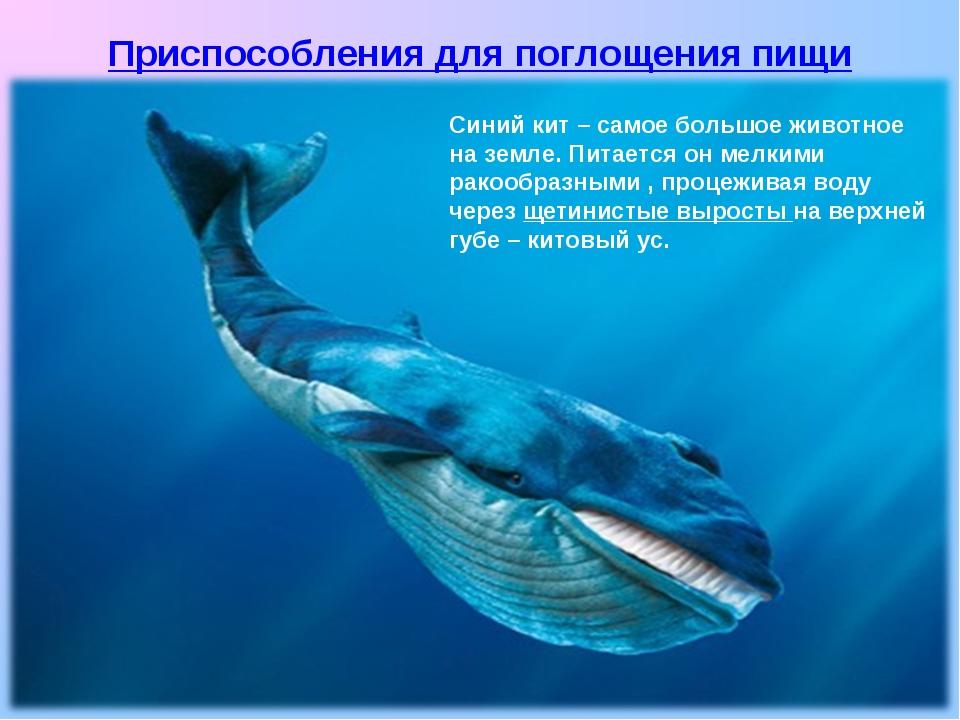 Синий кит – самое большое животное на земле. Питается он мелкими ракообразным...