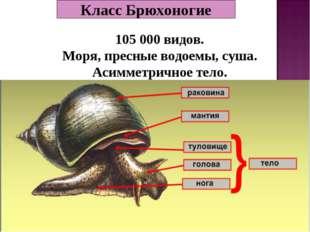 Класс Брюхоногие 105 000 видов. Моря, пресные водоемы, суша. Асимметричное те