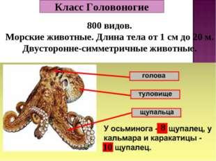 Класс Головоногие 800 видов. Морские животные. Длина тела от 1 см до 20 м. Дв