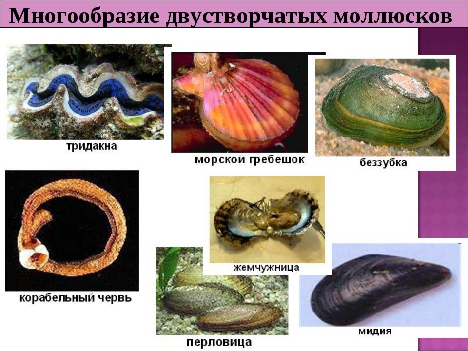 Многообразие двустворчатых моллюсков