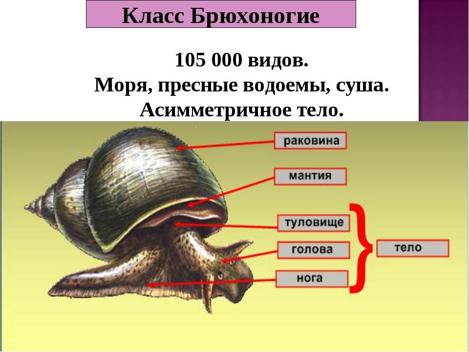 Класс Брюхоногие 105 000 видов. Моря, пресные водоемы, суша. Асимметричное те...