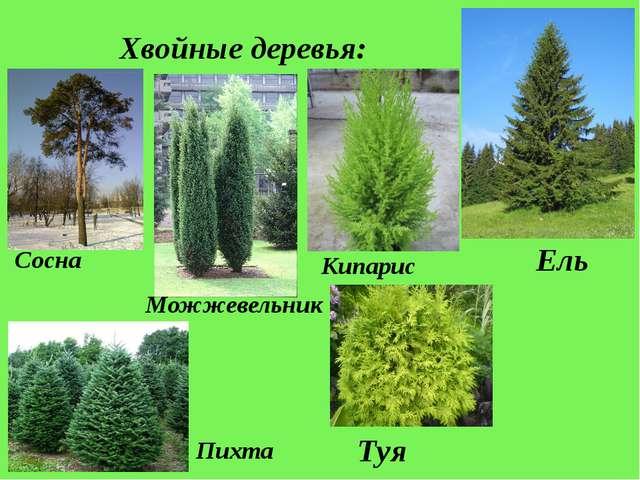 Хвойные деревья: Сосна Можжевельник Кипарис Тyя Ель Пихта