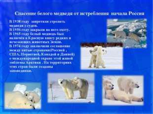 Спасение белого медведя от истребления начала Россия В 1938 году запретили с