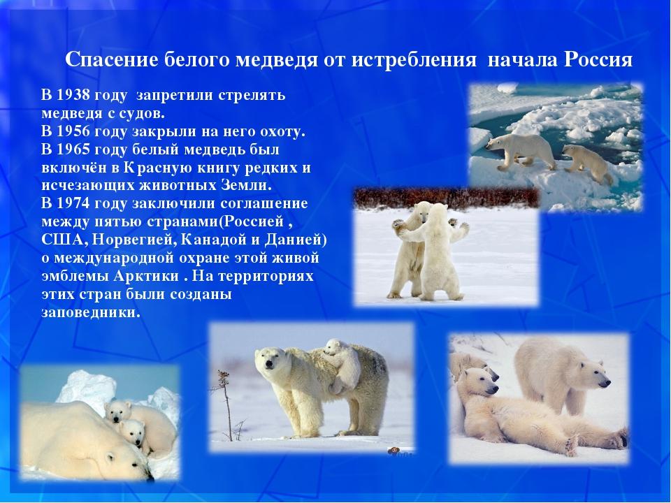 Спасение белого медведя от истребления начала Россия В 1938 году запретили с...