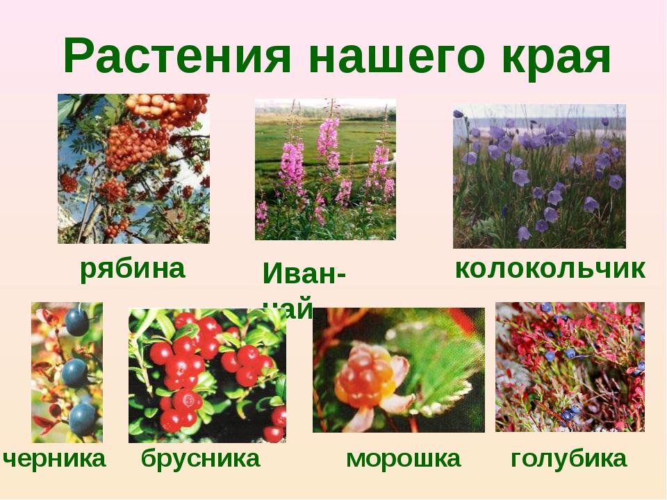 Растения нашего края Иван-чай колокольчик рябина черника брусника морошка гол...