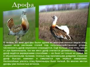 В начале XX века дро́фы были одним из многочисленных видов птиц. Однако из-за