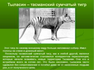 Этот тигр по своему внешнему виду больше напоминал собаку. Имел полосы на сп