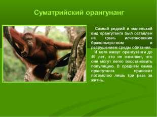 Самый редкий и маленький вид орангутанга был оставлен на грань исчезновения